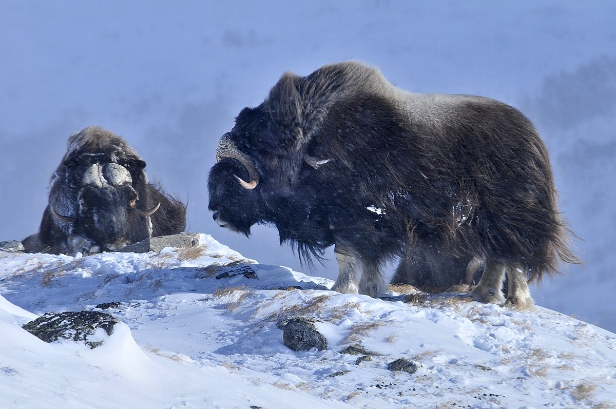 Muskoxen relaxing