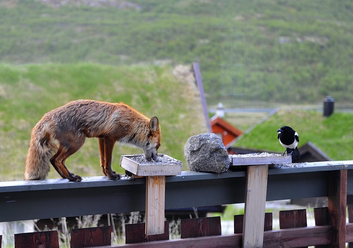 Red fox and magpie