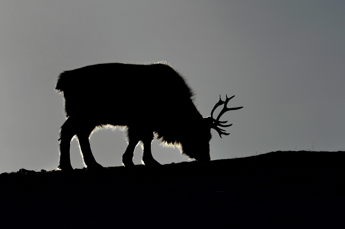 Reindeer in Morning Backlight