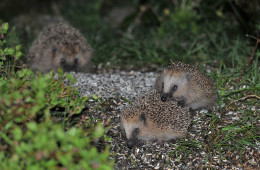 Mating hedgehoges
