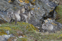 Polar fox cubs. Polarrevunger