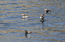 Puffins and black guillemot