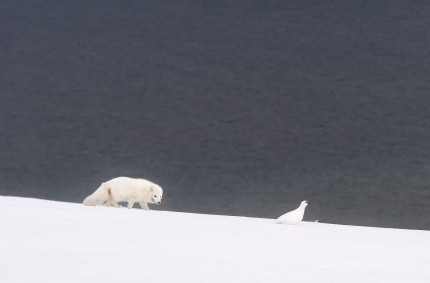Arctic Fox and Svalbard Ptarmigan