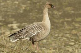 Pink-footed goose. Kortnebbgås