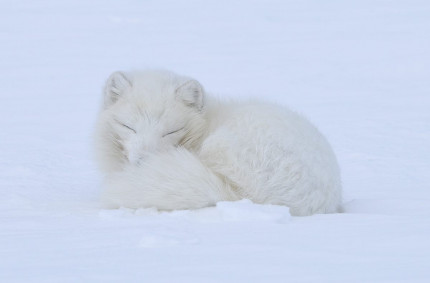 Arctic Fox Sleeping