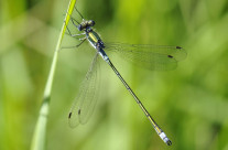 Common spreadwing