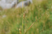 Grisnestarr (Carex distans)