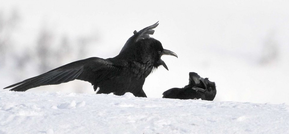 Fighting Ravens